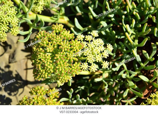 Sea fennel or samphire (Crithmum maritimum) is an edible perennial herb native to Mediterranean Basin coasts. Flowers and fruits detail