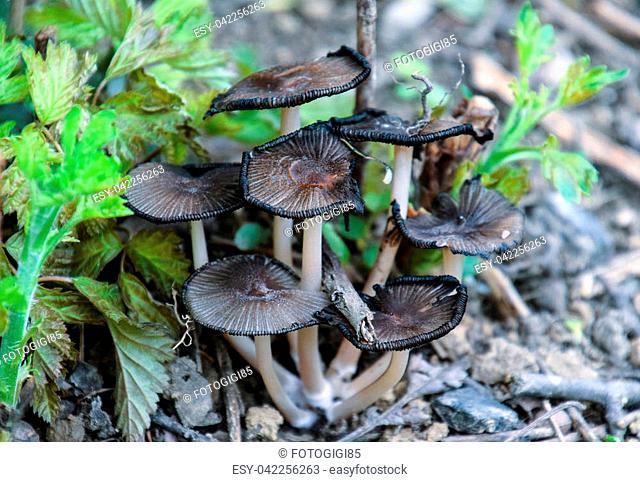 False mushrooms on the ground. The growth of fungi on moist soil