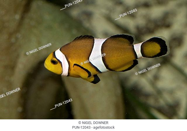 Close-up of a common clown fish Amphiprion ocellaris at the Sea Life Centre, Hunstanton, Norfolk Clownfish are also known as anemonefish because of their...