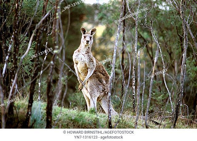 old man kangaroo Eastern Grey, Macropus giganteus seen through the spindly wattles