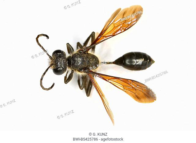 Grass-carrying wasp (Isodontia mexicana), cut-out, Austria