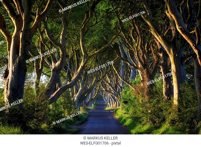 Northern Ireland, near Ballymoney, alley and beeches, known as Dark Hedges