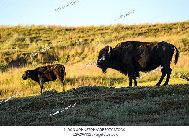 Plains bison (Bison bison), Theodore Roosevelt NP (South Unit), North Dakota, USA