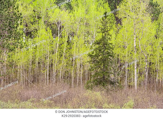 Emerging spring foliage in an aspen woodlot, Greater Sudbury, Ontario, Canada