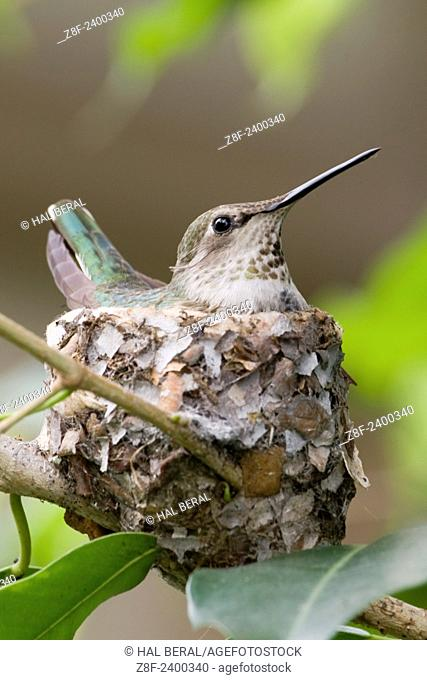 Anna's Hummingbird sits on eggs in it's nest. Southern california