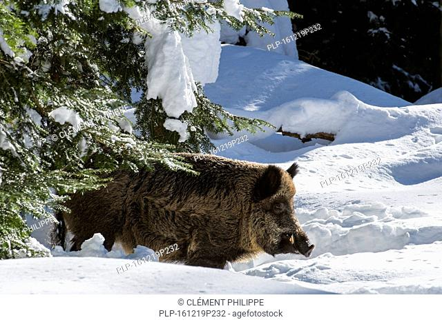 Wild pig (Sus scrofa) boar foraging in pine forest in the snow in winter