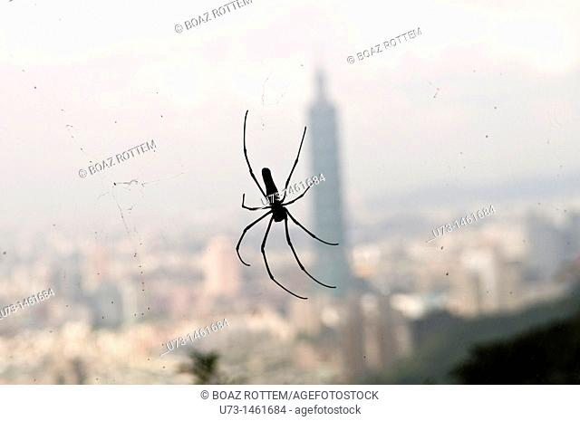 A Spider hanging by his web in the forest overlooking Taipei 101 skyscraper in Taipei, Taiwan