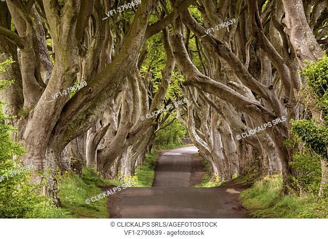 The Dark Hedges, County Antrim, Ulster region, northern Ireland, United Kingdom. Iconic trees tunnel