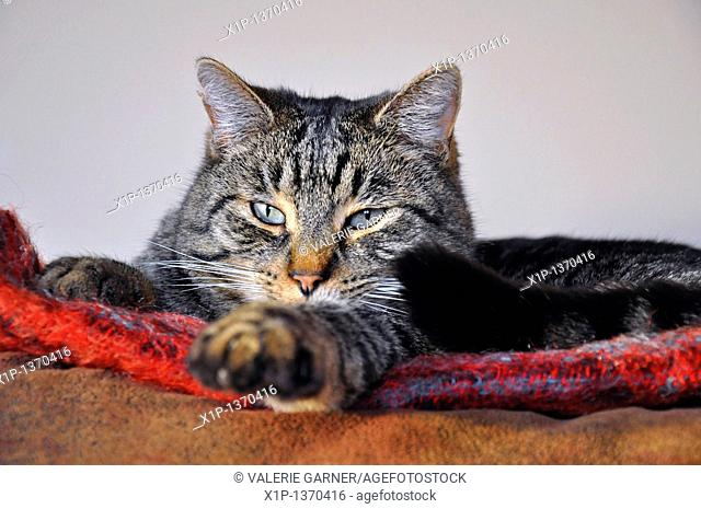 This cute striped tabby cat is sleepy and lying on a red blanket all cozied up indoors