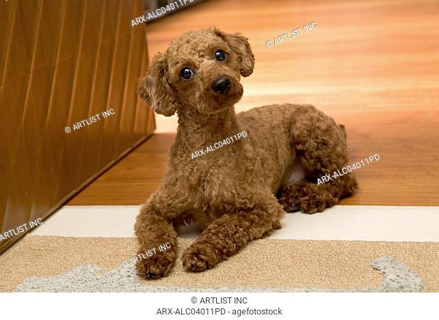 A dog lying down on a rug