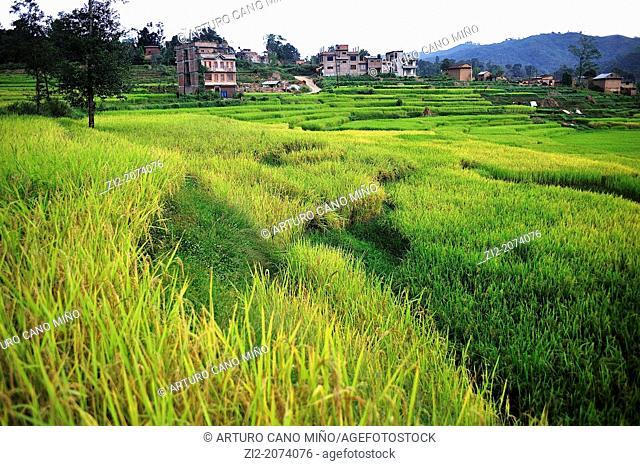 Rice field, Kathmandu Valley, Nepal