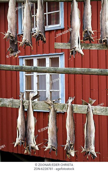 Stockfisch ist durch Trocknung haltbar gemachter Fisch – vor allem Kabeljau, Seelachs, Schellfisch und Leng werden paarweise auf Gestellen zum Trocknen...