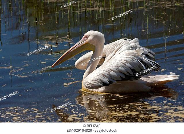 Great white pelican (Pelecanus conocrotalus) swimming