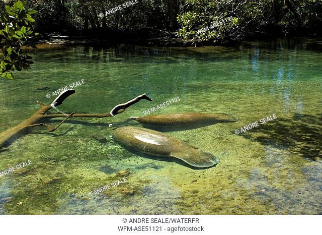Florida Manatee, Trichechus manatus latirostrus, Homosassa Springs State Park, Florida, USA