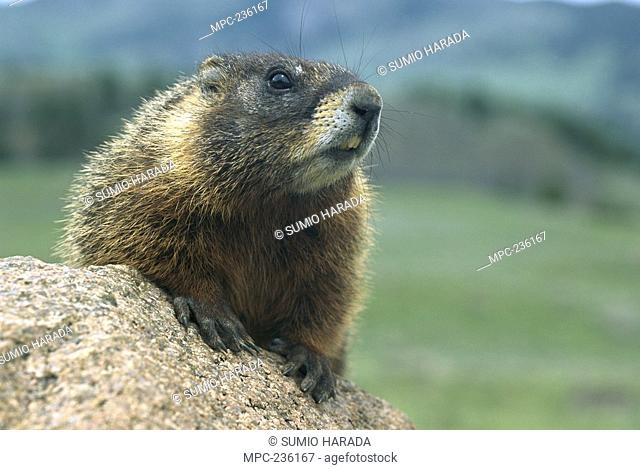 Yellow-bellied Marmot Marmota flaviventris, portrait, looking over rock, Rocky Mountains, North America