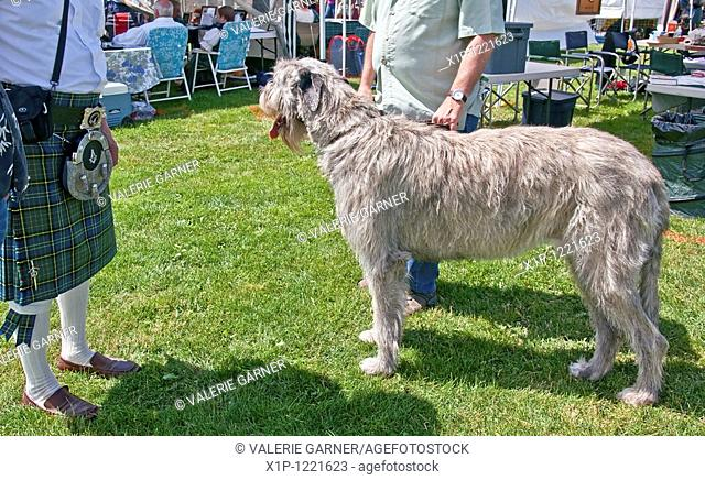 This very large Irish Elkhound dog is standing next to two adult men to show how large of an animal he is Second man is wearing a traditional Irish celt plaid...