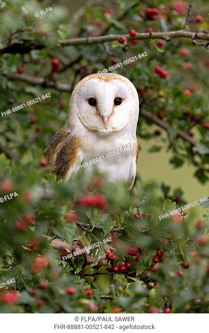 Barn Owl (Tyto alba) adult, perched in Common Hawthorn (Crataegus oxyacantha) with berries, Suffolk, England, September, controlled subject