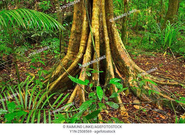 Rainforest Tree, Daintree Rainforest, Mossman Gorge, Mossman, Queensland, Australia