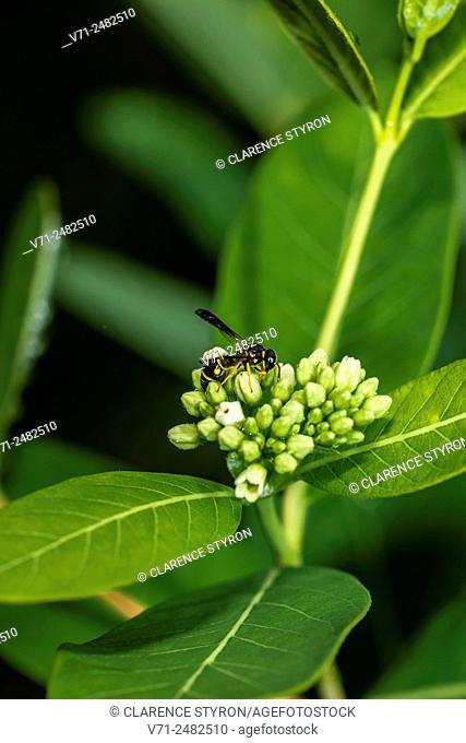 Potter Wasp (Euodynerus hidalgo) Feeding on Indian Hemp (Apocynum cannabinum) Flower