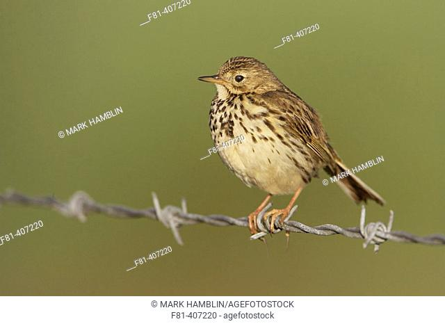 Meadow Pipit (Anthus pratensis) adult perched on wire fence. Scotland. UK