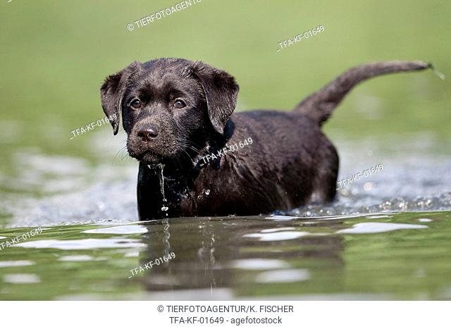 bathing Labrador Puppy