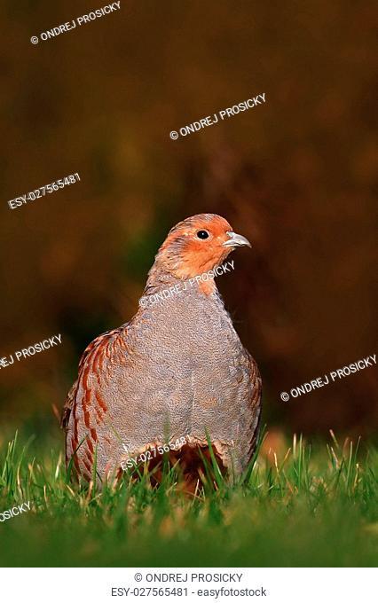 Grey partridge, Perdix perdix