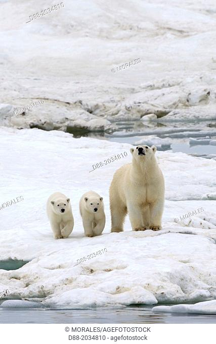 Russia , Chukotka autonomous district , Wrangel island , Polar bear ( Ursus maritimus ) , adult female with young one year and a half old