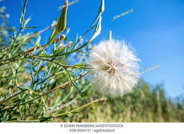 Up close view of single dandelion in Grand Tetons National Park, Teton County, Wyoming. USA