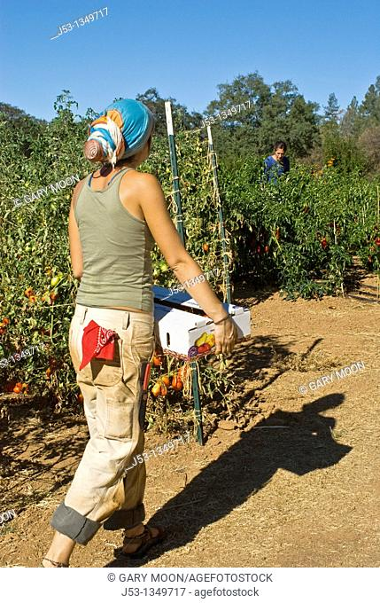 Young woman carrying box of freshly picked tomatoes on small organic farm, Nevada City, California