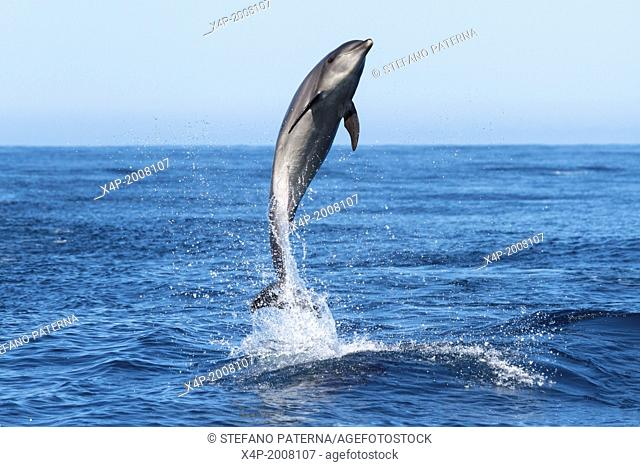 Bottle Nosed Dolphin, Tursiops truncatus, Near Floreana Island, Galapagos Islands, Ecuador