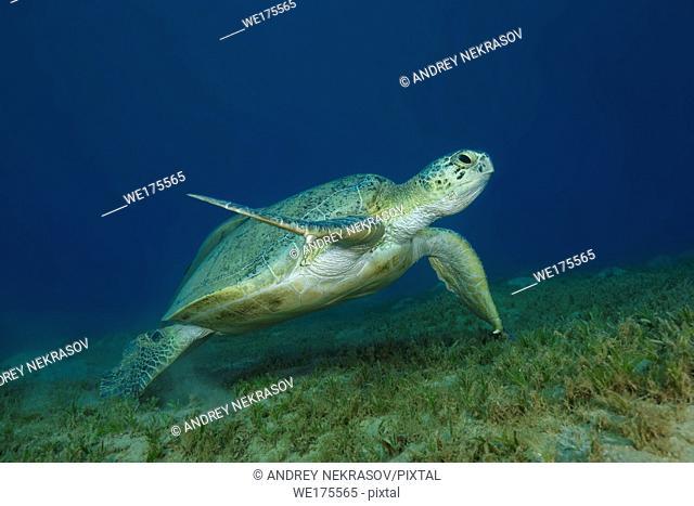 Green Sea Turtle, Chelonia mydas swim over sandy bottom in the blue water. Red Sea, Abu Dabab, Marsa Alam, Egypt, Africa
