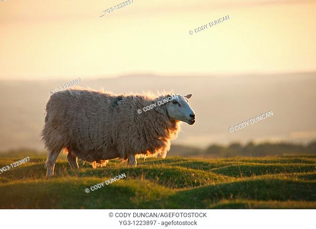 Welsh sheep in evening light, Wales