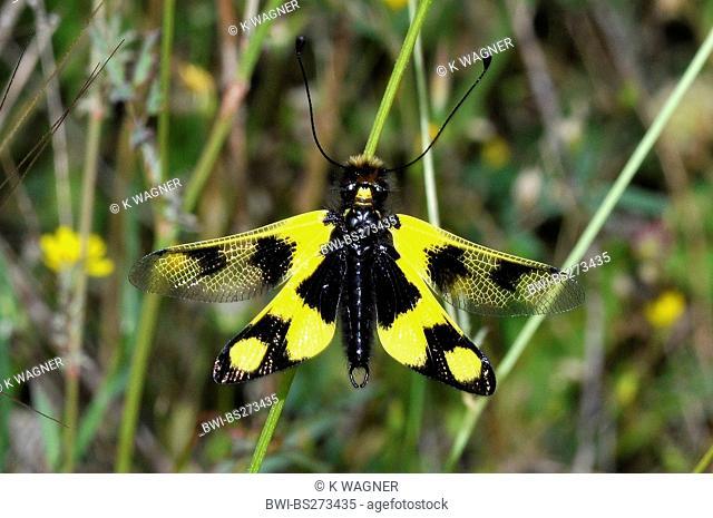 Owlfly Libelloides macaronius, sitting at a grass blade, Greece