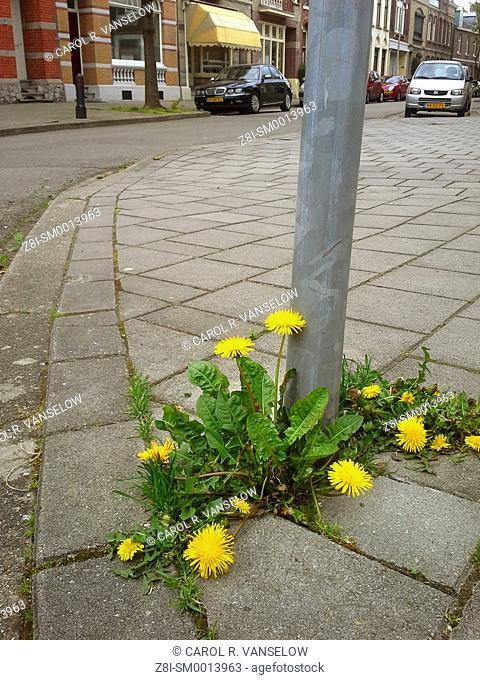 Dandelions growing by lightpost on side street in Maastricht