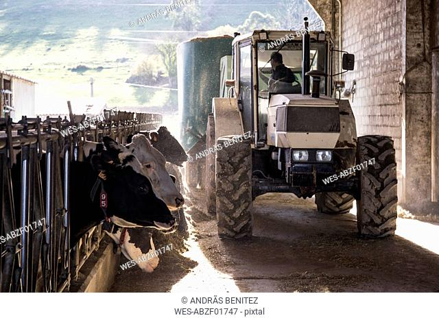Tractor pouring feed for cows on a farm