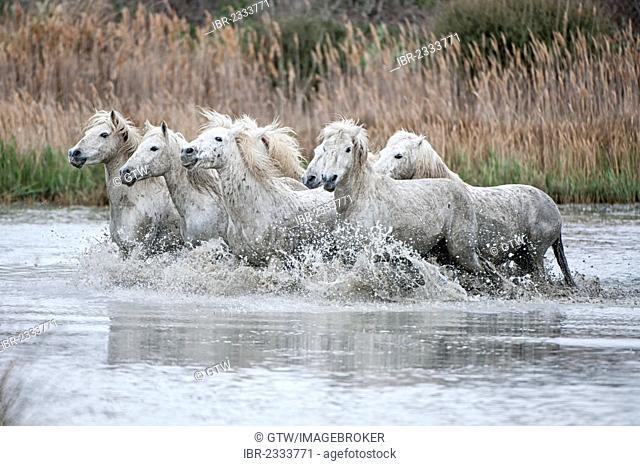 Camargue horses running in a marsh, Bouches du Rhône, France, Europe