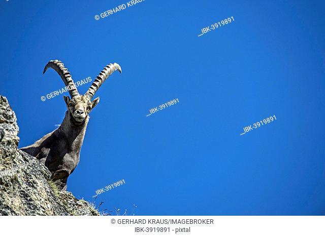 Alpine Ibex (Capra ibex), Stelvio National Park, Italy
