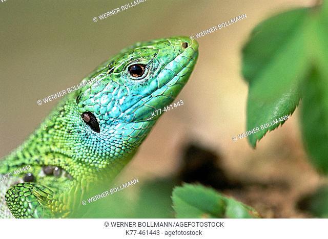 Green Lizard (Lacerta viridis). Germany