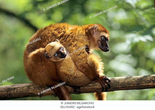 black lemur / Lemur macaco