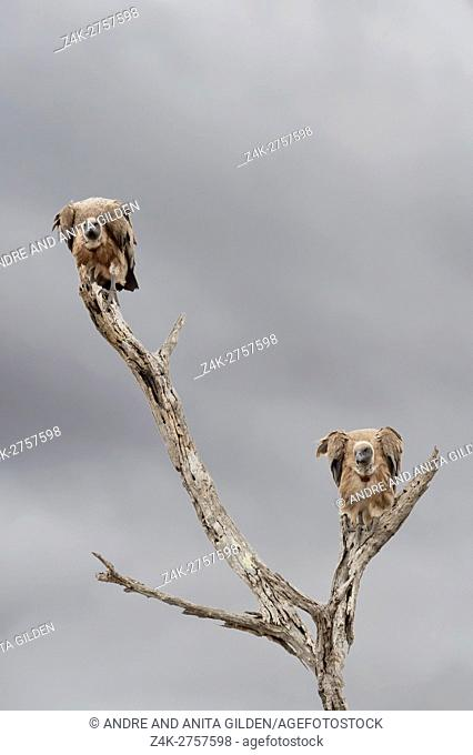 White-backed vulture (Gyps africanus) perched in dead tree, Kruger national park, South Africa
