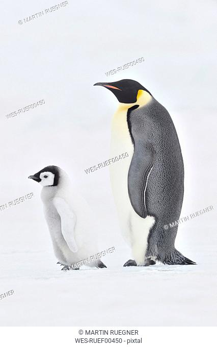 Antarctica, View of emperor penguin with young penguin