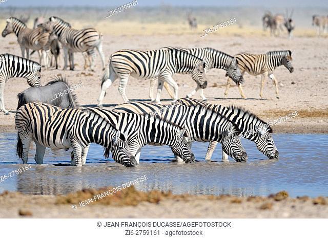 Four Burchell's zebras (Equus quagga burchellii) drinking in a waterhole, blue wildebeest (Connochaetes taurinus) and herd of Burchell's zebras behind