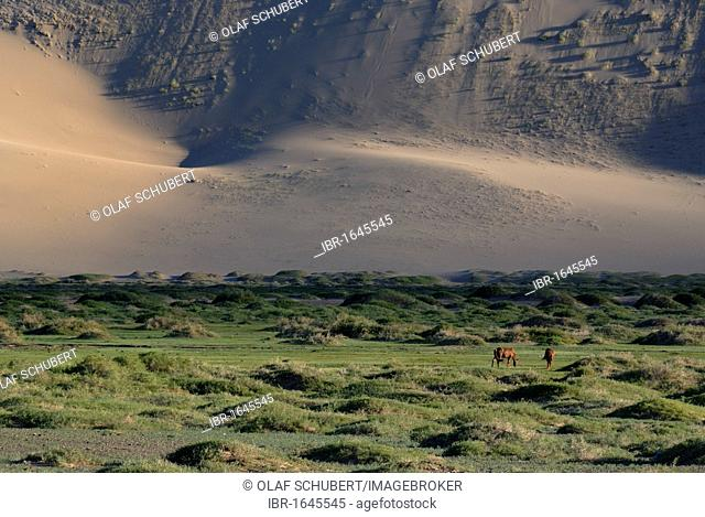 Mongolian horses in lush grass landscape in front of the large Khorgoryn Els sand dunes in the Gobi Desert, Gurvan Saikhan National Park, Oemnoegov Aimak