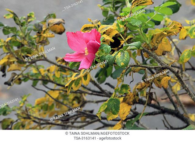 Helsinki, Finland - October 18, 2018. Rosa rugosa blossoming in October. Unseasonably warm October makes some plants believe it is spring again in Helsinki