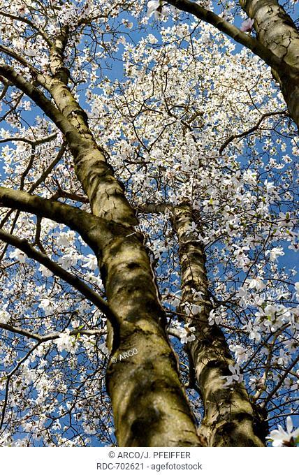 Magnolia, Ticino, Switzerland / (Magnolia x loebneri)