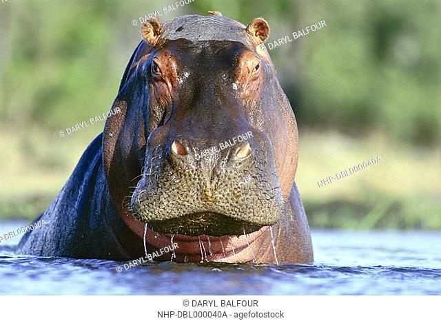 HIPPOPOTAMUS in water Hippopotamus amphibius Savuti Channel, Chobe National Park, Botswana, southern Africa