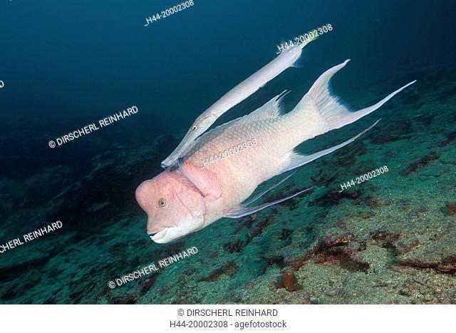 Mexican Hogfish accompanied by Trumpetfish, Bodianus diplotaenia, Cousins Rock, Galapagos, Santiago Island, Ecuador