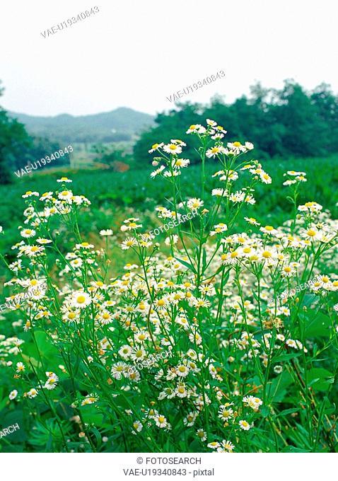 flowers, plant, plants, daisyfleabane, flower, film