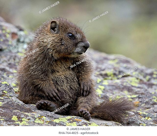 Young yellow-bellied marmot) (yellowbelly marmot) (Marmota flaviventris) sitting up, San Juan National Forest, Colorado, United States of America, North America