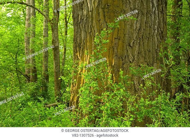 Cottonwood trunk in forest, Willamette Mission State Park, Oregon